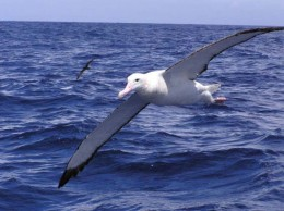 A Wandering Albatross.  There were only a dozen or so mating pairs left on MacQuarie Island when I was ther in 1976-77