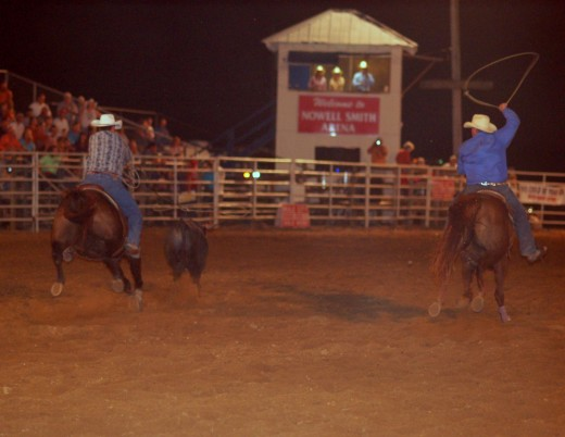 A pair of cowboys work together to rope a calf in the team roping event.
