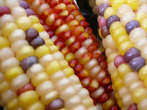Cobs of colored corn.