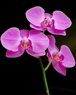 Purple Orchids, from free-extras.com