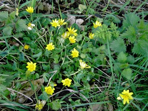 Lesser celandine competes with coltsfoot {above} to  welcome the new season, they may be found in flower as early as February. Photograph by D.A.L.