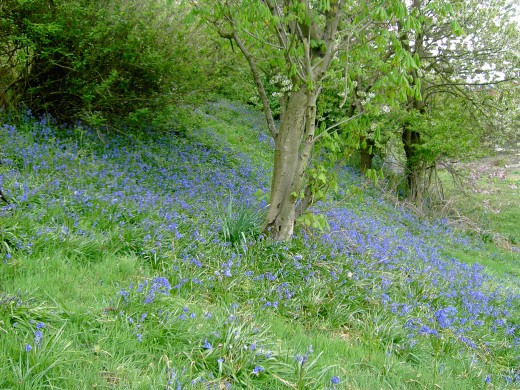 Bluebells herald the unfurling of tree foliage. Photograph by D.A.L.