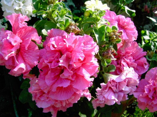 These double flowered petunias were attractive in baskets and pots. Photograph by D.A.L.