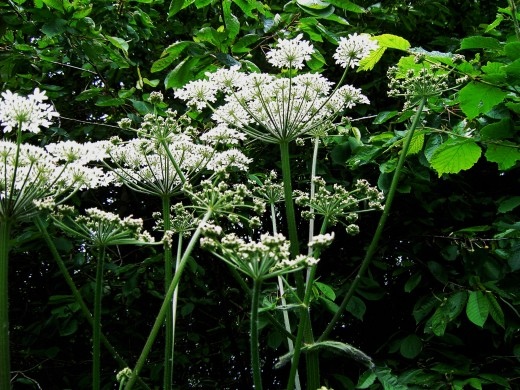 Hogweed is common during June and July. Photograph by D.A.L.