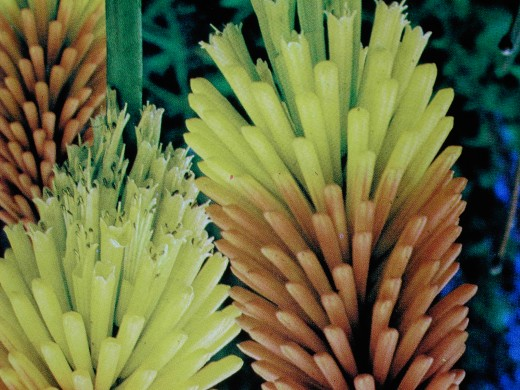 "Commonly called the red hot poker this Kniphofia ""Springtime"" is a cottage garden favourite. Photograph by D.A.L."