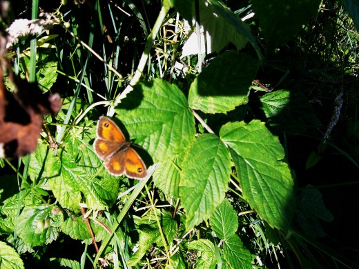 Gate keeper butterfly. Photograph by D.A.L.