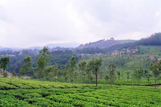 Tea Gardens,Coonoor