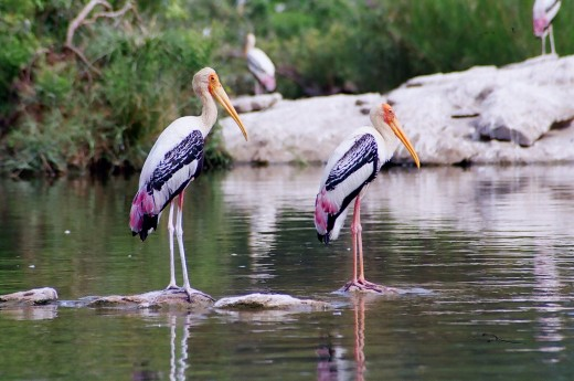 Painted Storks @ Ranganthittu Bird Sanctuary