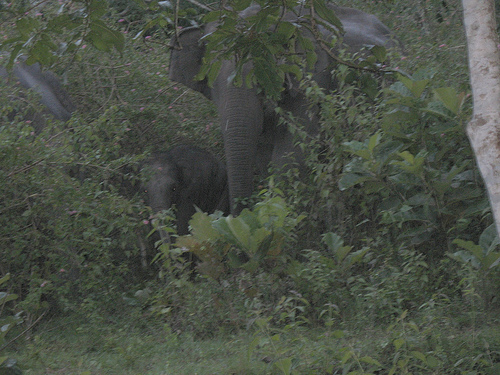 Elephants @ Bandipur