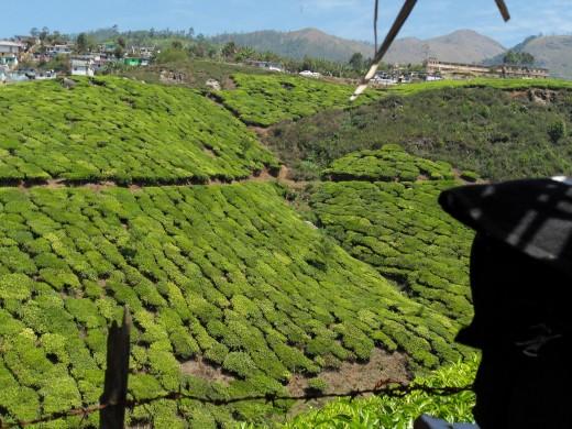 Tea Garden, Munnar