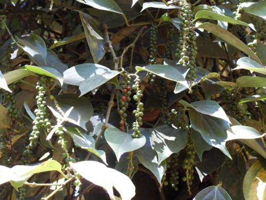 Pepper - Spice Garden, Munnar