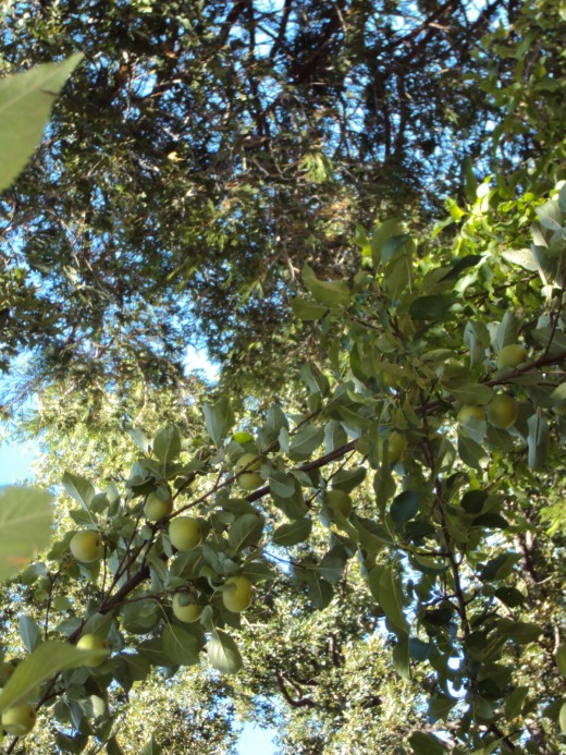 A closeup of apples on the branch with oak tree leaves in the background.