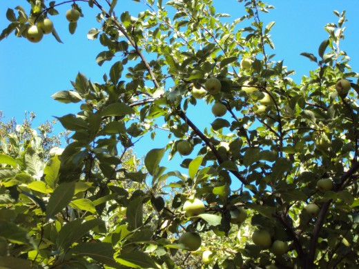 Patches of blue sky are poking through the leaves and the branches of the apple tree.