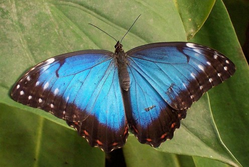 This blue morpho butterfly has its wings wide open to view the lovely color they show.  If the kids want them to land on them, try dressing in that color, and it may work!