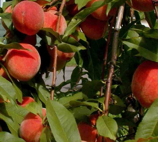 South Carolina grows enough peaches to give every citizen in America a piece of South Carolina peach cobbler