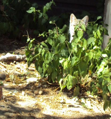 The new little kitten named Stripey is hiding behind a patch of vinca.