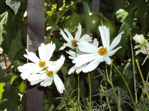A closeup shot of some beautiful white daisies.