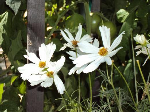 A closeup shot of some beautiful white daisies.