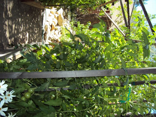 Another picture of the green tomatoes growing in the garden.