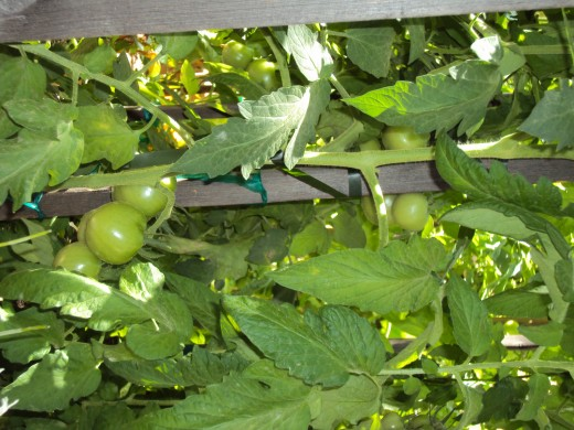 Lovely green tomatoes that will hopefully ripen soon enough.
