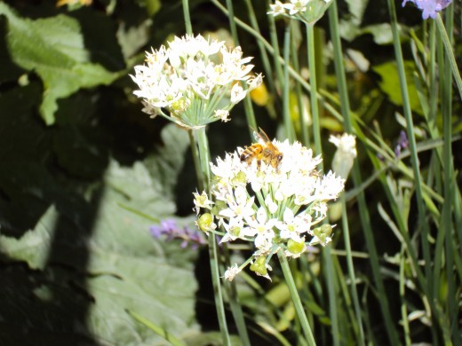 Beautiful white flowers in a garden located in the glorious San Bernardino Mountains.