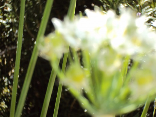 Another white flower closeup, and I love the out of focus allure of this photograph.