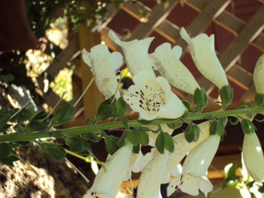 White bell shaped flowers with lovely brown spots on the inside.