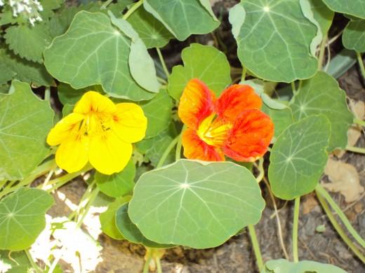 A closeup of the nasturtium.