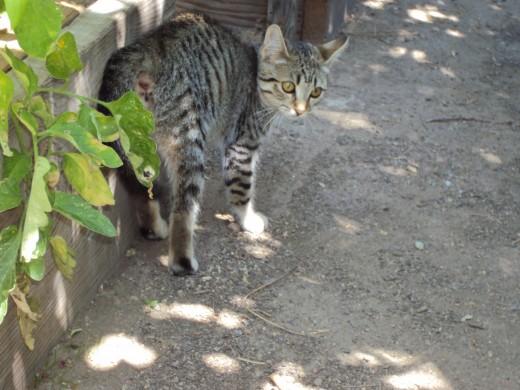 Stripey walking around the garden.