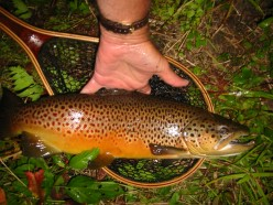 Farmington River Brown Trout fishing