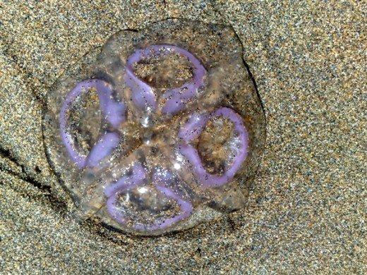 Jellyfish, one of thousands washed onto the beach after a summer storm August 2010