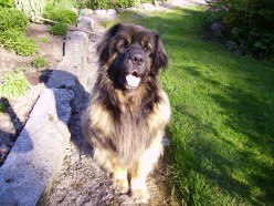 I miss my good-natured giant dog, a Leonberger