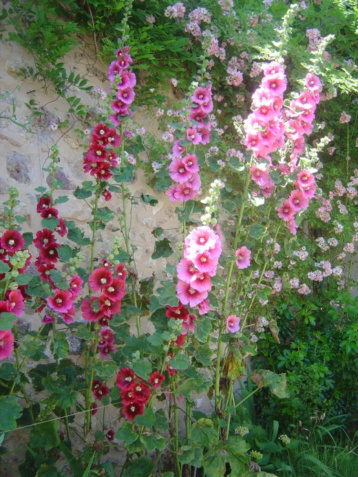 We have lots of hollyhocks