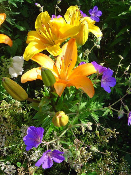 I love bright colours. These are my new day lilies and I planted them with blue geraniums. All my plants are chosen because they are suited to our conditions and grow well naturally.