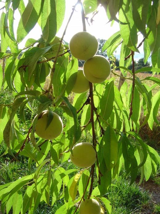 We grow lots of fruit and have peaches, apples, grapes, plumbs, raspberries, pears, hazelnuts, medlars and wild fruits like brambles and elderberries.
