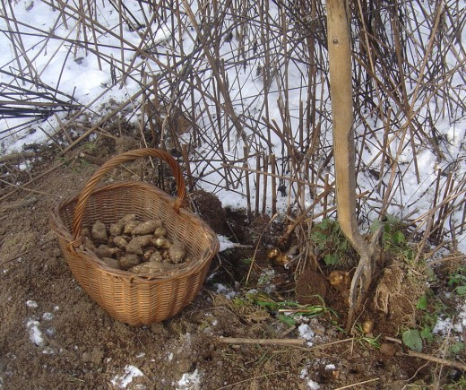 We grow herbs and vegetables. These are Jerusalem Artichokes. (They give you wind and make you fart!)