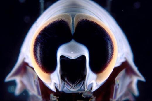 Deep-sea Amphipod Crustacean