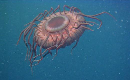Deep-Sea Jelly