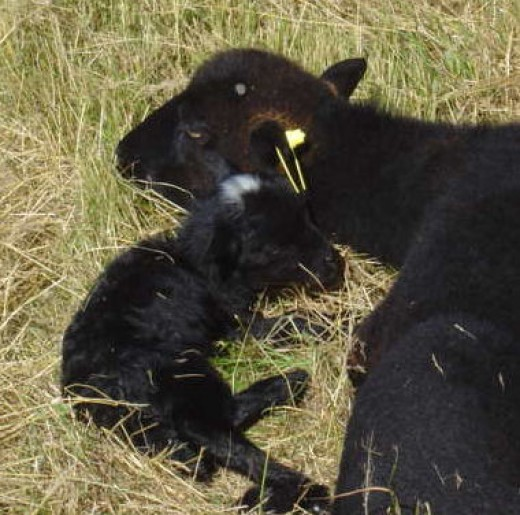 This was the first lamb to be born. The sheep are Ouessants from Brittany. A hardy, old breed and the smallest sheep.