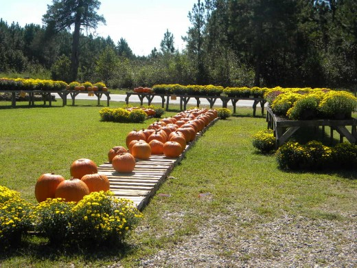 Fall Mums and pumpkins on display