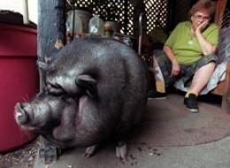 Pig Saves Owner