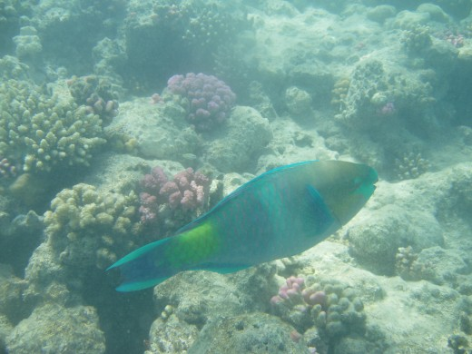 There is a wide range of colourful fish and coral around Sharm El Sheikh, when diving or snorkeling