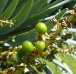 Dragon Tree berries