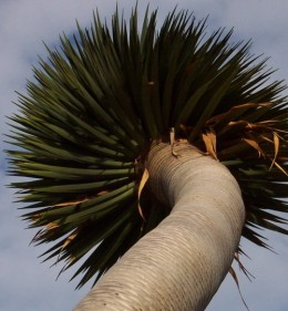 An unbranched Dragon Tree