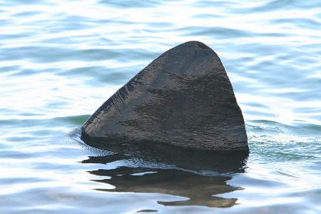 Biggest dorsal fin I'd ever seen