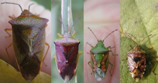 Typical examples of shield bugs portraying their differing sizes.