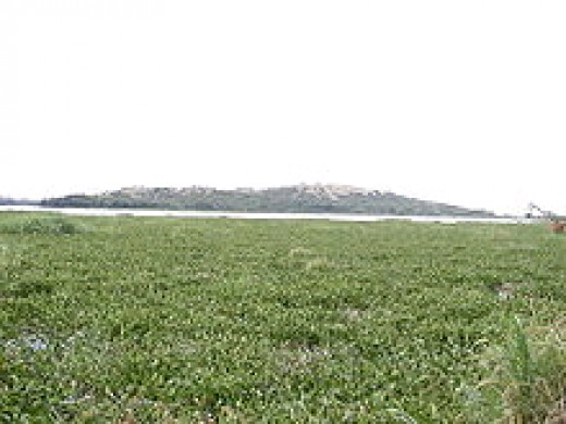 Water hyacinth covers a lake surface.