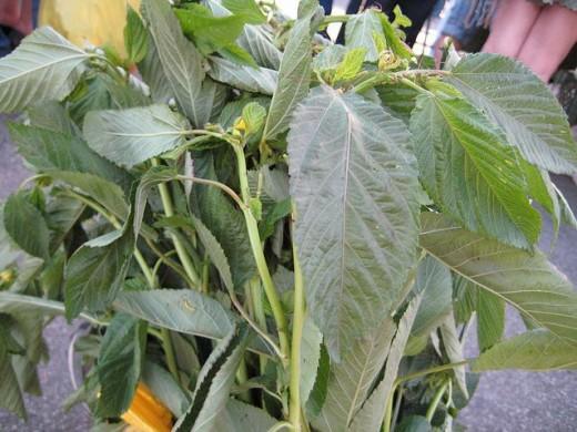 Saluyot leaves