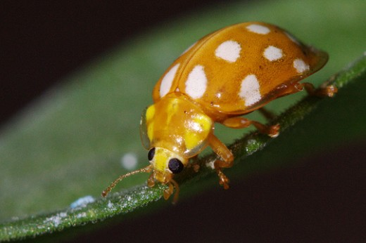 A yellow ladybird with white spots.