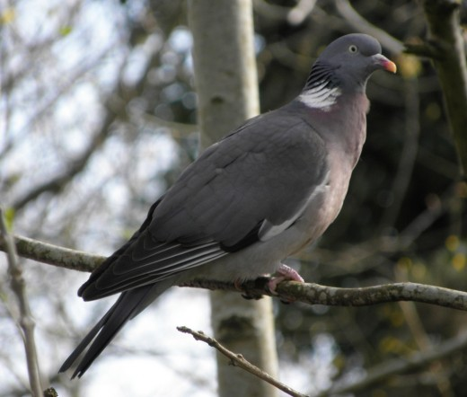 wood pigeons are portly birds ever alert. Courtesy of djpmapleferryman.